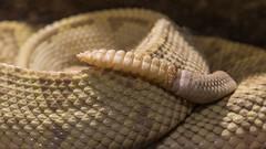 _MG_8894 (Bob Worthington Photography) Tags: bear cobra eagle african lion polar sandiegozoo rattlesnake mandrill harpy gharial zoo053115