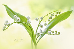 Lily of the valley (Jacky Parker Floral Art) Tags: uk flowers white macro closeup outdoors nopeople fragrant delicate freshness springtime scented lilyofthevalley selectivefocus naturephotography macrophotography floralart convallariamajalis fragility beautyinnature horizontalformat flowerphotography focusonforeground nikond750 spring2016