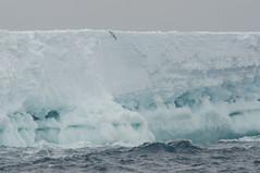 Spot the Petrel (Tim Melling) Tags: sea antarctica iceberg antarctic petrel weddell timmelling thassaloica