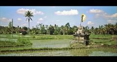 Bali Rice Fields (NikolaiTF) Tags: bali canon 50mm rice sigma fields 6d