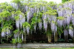 Cascade (collieelaine) Tags: plant garden bench spring purple hampshire newforest wisteria exburygardens