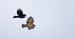 4/5 Common Buzzard & Carrion Crow (abritinquint Natural Photography) Tags: wild bird nature germany fly fight nikon natural wildlife flight attack 300mm telephoto crow carrion buzzard nikkor f4 vogel pf tc14eii 300mmf4 commonbuzzard teleconvertor bussard d7200 pfedvr