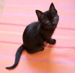 Gata Pucca (1) (adopcionesfelinasvalencia) Tags: gata pucca