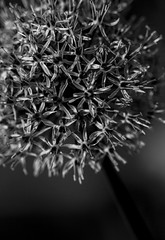 Mono Allium Ball - May 2016 (GOR44Photographic@Gmail.com) Tags: bw flower macro canon mono 100mm allium 100mmf28 canon100mm 60d gor44