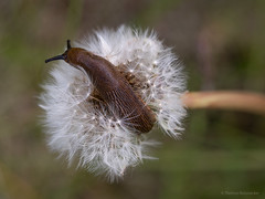 the race is long, the hurdles high, but don`t give up (thomas.reissnecker) Tags: macro snail dandelion dontgiveup flickrfriday