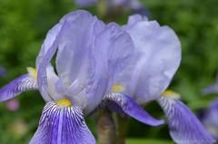 Iris (Sandra Kirly Pictures) Tags: flowers iris spring outdoor poland warsaw botanicalgarden warszawa ogrdbotaniczny