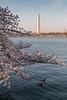 Cerisiers en fleurs sur le bord de Tidal Basin (Seb & Jen) Tags: usa flower fleur cherry washington districtofcolumbia unitedstates blossom basin obelisk tidal cerisier obelisque étatsunis