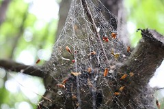 20160604144614_IMG_1292 (arielandrew) Tags: trees spider web leaves nature bugs glenlyon woods macro pennsylvania canon eos 750d rebel t6i