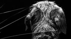 Hair (txwhitacre - I think I'm back :)) Tags: hair wire nikon coat d500 borderterrier
