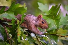 Hello (crazyxavphotos) Tags: squirrel squirrels chipmunk chipmunks wildlife animal wildanimal wilderness nature naturephotography wildlifephotography animalphotography animallover animals urbananimal urbananimals green closeup natural outdoor rodent