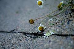 Broken (karmakerosene) Tags: flowers flower daisy daisies nature garden pavement sidewalk sad emotion blue nikond7000 nikon d7000 35mm