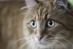 Clem Thursday: Focus (Photo Amy) Tags: red orange pet cute cat fur ginger furry kitten feline tabby longhair adorable fluffy whiskers precious whisker cuddly cuteness longhaired aminal ef50mm18 eartufts toefur canon50d