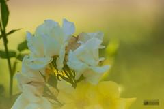 Neblina (marcus turkill) Tags: flowers flores rosa roses yellow amarillo niebla mist nikon nikond3300 macro macrofotografia macrophotography