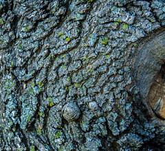D'un peu plus prs (alex.bernard) Tags: arbre tree rable maple macro texture nature plante plant extrieur outdoor canon canon5diii 5d sigma sigma70200mm 70200mm qubec canada montsainthilaire t summer corce bark