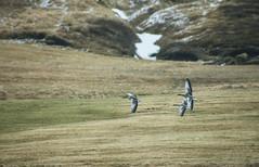 arrival of the wild geese in Iceland (lunaryuna) Tags: season iceland spring flight lunaryuna wildgeese signsofspring migratorybirds birdmigration seasonalchange centralnorthiceland birdsarereturning