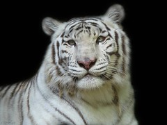 The white tiger (Mel's Looking Glass) Tags: the white tiger mammal black background portrait