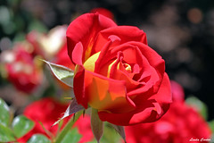 Red and Yellow hybrid Rose (Wonder Woman !) Tags: flower rose redyellowhybrid garden balboapark sandiego california