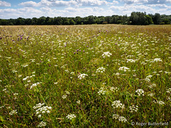 Burnet-saxifrage (Roger B.) Tags: anstonstoneswood burnetsaxifrage grassland pimpinellasaxifraga rotherham southyorkshire unitedkingdom