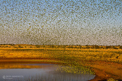 IMG_0261.jpg (Paul Williams www.IronAmmonitePhotography.com) Tags: bird budgerigar summer murmuration dryseason melopsittacusundulatus australia