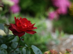 A Red Red Rose by Robert Burns (janroles) Tags: rose summer dof canoneos400d england closeup garden nature fleur serene outside flickr