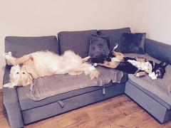 Pufka & Bono (psiortal.pl) Tags: psiortal dog dogs pies psy pet animal zwierze futro fur nice love friend milosc przyjaciel przyjazn sweet goldenretriever home house sleep dom sen spanie brzuch bellly