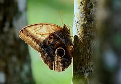 Oedipus Owl butterfly -----Caligo oedipus (creaturesnapper) Tags: borinquenmountainresort rincondelavieja costarica butterflies lepidoptera oedipusowlbutterfly caligooedipus nymphalidae