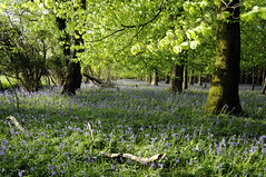 Bluebell Woods (dawn.v) Tags: uk flowers blue trees england green beautiful leaves bluebells rural landscape countryside woods nikon pretty may dorset bluebellwoods 2015