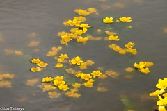Marsh Marigold under water (Ian R T) Tags: aberdeen torry marshmarigold kingcup easttullosburn stfittickspark