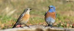 Western Bluebird Pair 5083 (Ethan.Winning) Tags: california creek open space walnut ridge western bluebird lime northern bluebirds thrushes