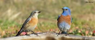 Western Bluebird Pair 5083