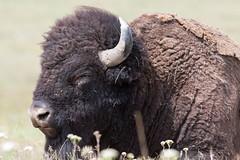 Bison (judd.furlong) Tags: