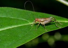 Keep Those Antennae Clean (thoeflich) Tags: cricket antennae