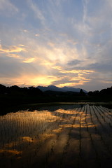 Dusk of the early summer of paddy  (julajp (A while busy)) Tags: orange reflection kanagawa  atsugi          oghino shimooghino