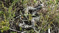 Berner Oberland / Switzerland: Aspisviper (vipera aspis) (alpium) Tags: schweiz switzerland suisse snake kandersteg serpent viper berner schlange bernese oberland aspic serpente vipera aspis aspisviper