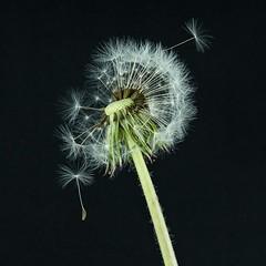 148.365 (hey ~ it's me lea) Tags: fluffy fluff dandelion deadhead makeawish gonetoseed