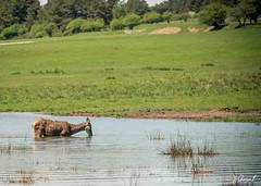 JPC_1112-2 (jp.clement12) Tags: horse mountain green nature water forest montagne reserve doe bison preserve mont fort verdure chevaux plaine dazur biche gazon