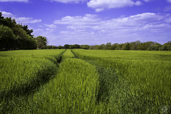 Sea Of Green (acky904) Tags: trees sky field clouds canon track norfolk tracks bluesky crop clark atkinson canon6d friendlychallenges friendlychallenge clarkatkinson clarkatkinsoncom