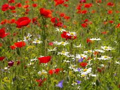 P6020001 (turbok) Tags: blütenrot klatschmohnpapaverrhoeas pflanze wildblumen wildpflanzen c kurt krimberger