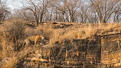 ADS_0000103732 (dickysingh) Tags: wildlife tiger tigers ranthambore indianwildlife ranthambhorenationalpark