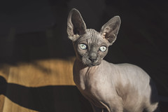 Ophelia in sun (linneasnow) Tags: pet sun cute nature animal oslo norway cat naked photography photo spring eyes sunny ears breed sphynx hairless furless animalphotography hairlesscat nakedcat
