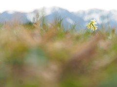 Frhling Natur Blume Schlsselblume - Spring Wild Flower Nature (hn.) Tags: wild copyright plant flower nature field germany bayern deutschland bavaria spring heiconeumeyer europa europe gaissach natur oberbayern tlzerland upperbavaria pflanze feld meadow wiese eu pasture greenland blume grassland wildflower primula blte frhling oberland copyrighted springflower filzen wildblume schlsselblume oxlip elatior primulaelatior frhlingsblume frhlingsblher hoheschlsselblume waldschlsselblume landkreisbadtlzwolfratshausen gaisach gaisacherfilzen trueoxlip badtlzwolfratshausen gaisacher