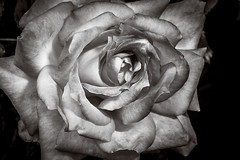 Things that grow in the yard (alhawley) Tags: life blackandwhite bw flower macro monochrome rose still pentax manualfocus k3 offcameraflash pentaxlimited smcpentaxfa31mmf18allimited pentaxlife justpentax pentaxart lightroom5 pentaxk3 limitedsilveredition