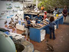 P4253440 (olavagnar) Tags: island islands ecuador do pacific darwin olympus galapagos charlesdarwin pacificocean to equator archipelago 2016 galpagos galapagosislands galpagosislands archipilagodecoln islasgalpagos galpagosnationalpark galpagosmarinereserve