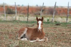 Born In A Barn (It Feels Like Rain) Tags: westtexas filly foal borninabarn