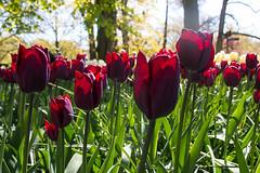 IMG_1476-Keukenhof.jpg (markkras-fotografie) Tags: tulipa keukenhof tulp