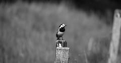 White Wagtail (JohanKampe) Tags: bw bird birds animal animals outside outdoors blackwhite sweden sverige motala fglar djur whitewagtail svartvitt utomhus