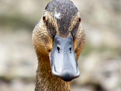 P1000970 (jamiebecky17) Tags: duck lakedistrict waterbird cumbria mallard derwentwater