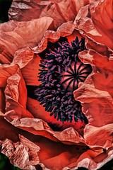 IMG_3995tzl1scTBbLGE (ultravivid imaging) Tags: flower canon colorful vivid poppy imaging ultra ultravivid ultravividimaging
