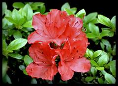 Azalee (karin_b1966) Tags: plant flower nature garden blossom natur pflanze blume blte garten azalee 2016 yourbestoftoday