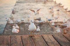 Waiting for feeding (Andrey Baydak) Tags: morning travel sea seagulls bird birds sunrise pier seaside seagull gull odessa boardwalk  2470